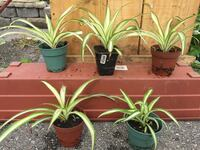 Spider plants  Barrie, L4M 2T7