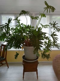 Large green leaf plant with gray pot Milton, 19968