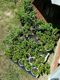 Chocolate mint plants. $1-$3 each. Chester, 23836