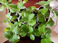 Thick leaf thyme plants 12 available  Whitby, L1N 5B1