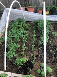 selling Tomatos plants each one $1 call  [TL_HIDDEN]