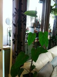 philodendron red emerald  Toronto, M4B 2P1