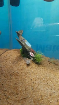 Two fully aquatic frogs and/or 10 gallon tank Grand Prairie, 75050