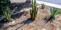 Cacti for sale  Chandler, 85225