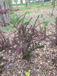 7 Mature Barberry bushes. New Providence