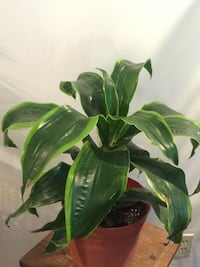 Nice and healthy beautiful house plant Aurora, 80012