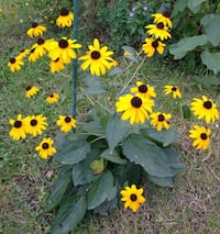 Black eyed susan cone perennial flower seeds St. Louis, 63125