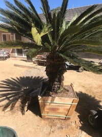 (2) 15 yr old Sago Palms for sale. In 32inch boxes. Ready to go! Oceanside, 92058