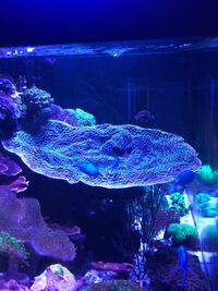 Super big Hollywood chalice coral Hawaiian Gardens, 90716