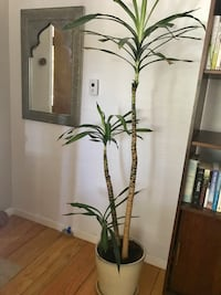 Tall indoor plant  Oakland, 94602
