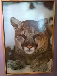 Mountain cougar picture