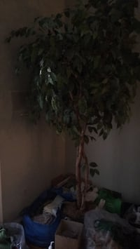 6 foot artificial ficus tree  Bethesda, 20817