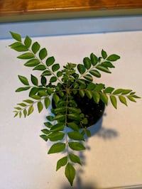 Curry Leaves Plant 7.5 Inches