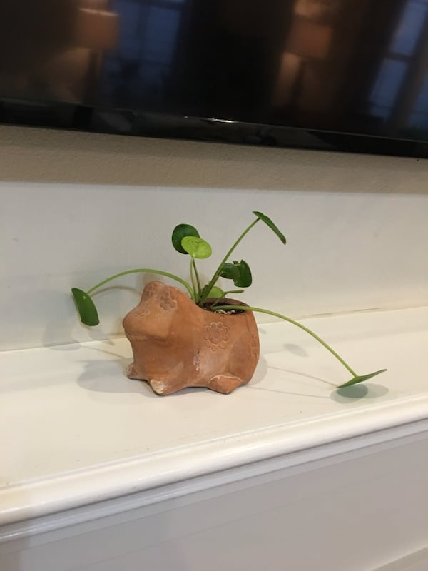 Terra-cotta frog planter filled with Chinese money plant  c8a80d74-e582-41c4-affb-50031b19d4fa