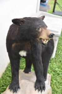 Bear Taxidermy Catharpin