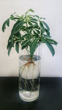 Aquatic Schefflera Umbrella plant in water vase
