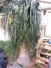 Ponytail palm  9 foot tall Bushnell, 33513